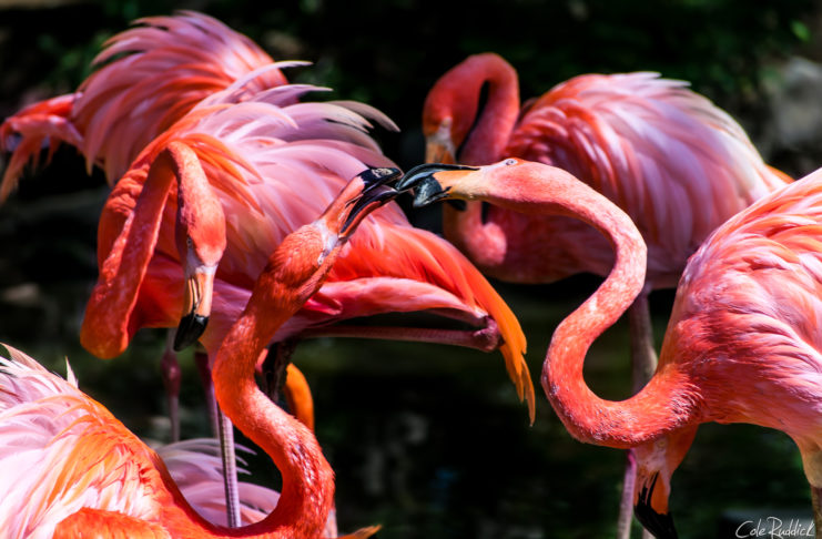 Kissing American Flamingos